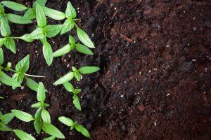 beans in soil